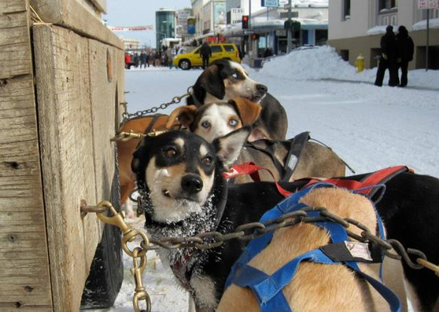 North American Sled Dog Races - Dogs